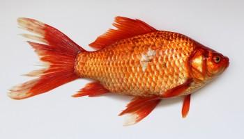 goldfish-537832_1280